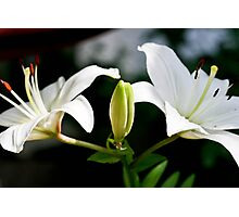 Double White Lillies Photographic Print