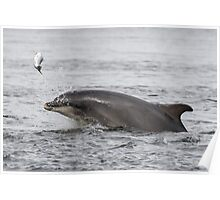 Dolphin Tossing Salmon Poster