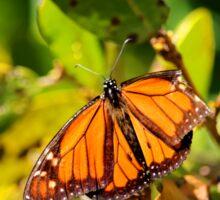 Monarch Butterly Sticker