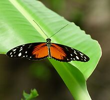 Orange, Black, and White South American Butterfly by artbybutterfly