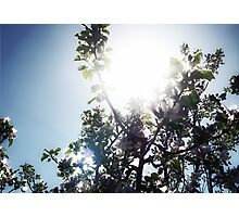 Apple Tree Sunburst in Color Photographic Print