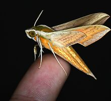Hawk-moth from Bali by jimmy hoffman