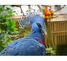 Victoria Crowned Pigeon Photographic Print