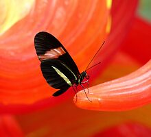 Red Striped Butterfly on Red Glass by artbybutterfly
