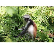 Red Colobus Monkey of Zanzibar Island, Tanzania Photographic Print