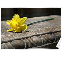 Springtime Daffodil on a Bench Poster