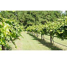 Grape Vine 3 Photographic Print