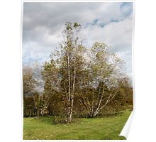 Birch Trees in Autumn Poster