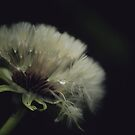 Dandelion Seeds by Tamara Brandy