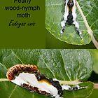 Pearly Wood Nymph Moth by DigitallyStill