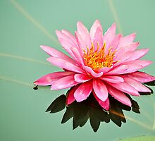 Water Lily by Scott Mitchell