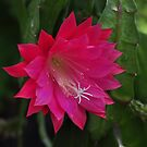 Large Orchid Cactus flower... by Poete100