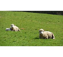 Ireland - Two Sheep relaxing in the sun Photographic Print