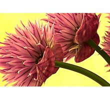 Two Chive Blossoms Photographic Print