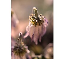 Wilted Daisy Photographic Print