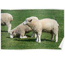 I love you grass - Sheep grazing Poster