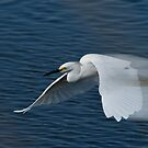 Great White Egret in Motion by TJ Baccari Photography