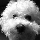 Bichon Frise - Black and White by Neroli Henderson