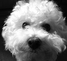 Bichon Frise - Black and White by Neroli Henderson
