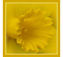 Cancer Council Of Australia - Daffodil Day Photographic Print