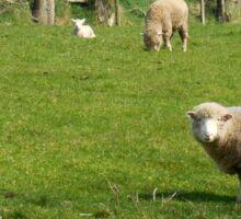 Ewe and lamb - Ireland Sticker