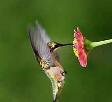 Sun Sweet Hummingbird by Christina Rollo