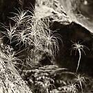 Dracophyllum secundum by Geoff Smith