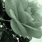Bling**.........................................rose in drops by Martin Grain