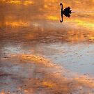 Black Swan at Sunset by Ommik