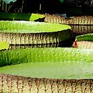 Giant Lily Pads by Hope Ledebur