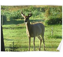Little Buck in The Front Yard Poster