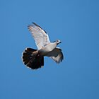 Crested Pigeon by Jay-Wolf
