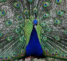 Peacock Blue by AnnDixon