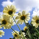 Worms Eye View of 10 Daisies by AnnDixon