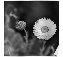Paper Daisies Poster