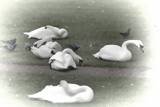 Just Swanning Around ........ by lynn carter