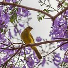 Yellow Honeyeater in a Jacaranda Tree by JLOPhotography