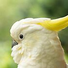 Wild Sulphur-crested Cockatoo - Portrait of an unexpected visitor by PamsPetPictures