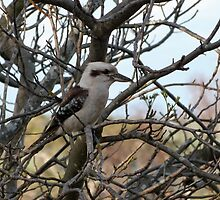 The Iconic Australian Kookaburra sits in the White Cedar Tree. 'Arilka'.   by Rita Blom