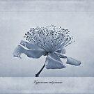 Hypericum calycinum Cyanotype by John Edwards