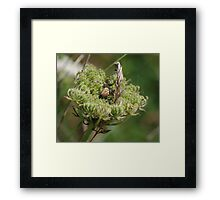 Garden Spider at Gwithian Nature Reserve in Cornwall. Framed Print