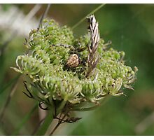 Garden Spider at Gwithian Nature Reserve in Cornwall. Photographic Print