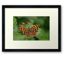 Comma Butterfly at Gwithian Nature Reserve in Cornwall Framed Print