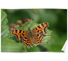 Comma Butterfly at Gwithian Nature Reserve in Cornwall Poster