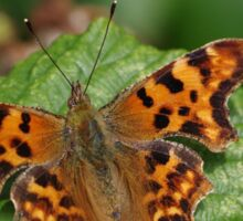 Comma Butterfly at Gwithian Nature Reserve in Cornwall Sticker