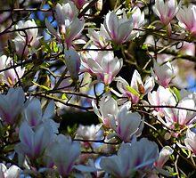 Magnolia Spring by slimdaz