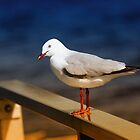 Seagull beauty 0999 by kevin chippindall