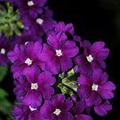 Purple Posies by Sandra Fortier