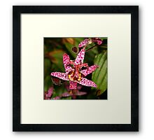 Toad Lily Framed Print