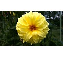 .Yellow Dahlia. Photographic Print